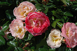 Peach Drift® Rose (Rosa 'Meiggili') at Begick Nursery