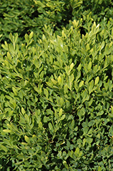 Faulkner Boxwood (Buxus microphylla 'Faulkner') at Begick Nursery
