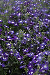 Hot® Blue With Eye Lobelia (Lobelia 'Hot Blue With Eye') at Begick Nursery