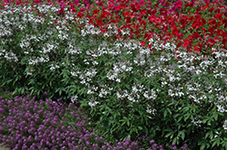 Senorita Blanca Spiderflower (Cleome 'Senorita Blanca') at Begick Nursery