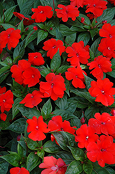 Divine™ Orange New Guinea Impatiens (Impatiens hawkeri 'Divine Orange') at Begick Nursery
