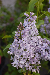 Tiny Dancer Lilac (Syringa vulgaris 'Elsdancer') at Begick Nursery