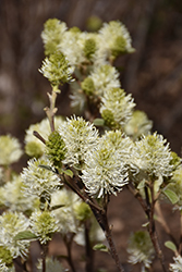 Mt. Airy Fothergilla (Fothergilla major 'Mt. Airy') at Begick Nursery