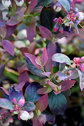 Pink Icing® Blueberry (Vaccinium 'ZF06-079') at Begick Nursery