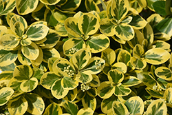 Gold Splash® Wintercreeper (Euonymus fortunei 'Roemertwo') at Begick Nursery