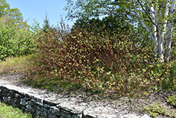 Bailey's Red Twig Dogwood (Cornus sericea 'Baileyi') at Begick Nursery