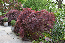 Crimson Queen Japanese Maple (Acer palmatum 'Crimson Queen') at Begick Nursery