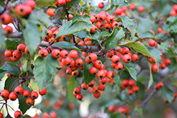 Winter King Hawthorn (Crataegus viridis 'Winter King') at Begick Nursery