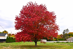 Red Maple (Acer rubrum) at Begick Nursery