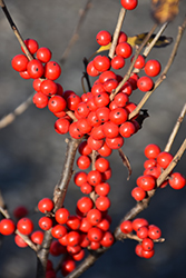 Berry Poppins® Winterberry (Ilex verticillata 'FARROWBPOP') at Begick Nursery