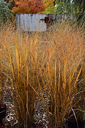 Northwind Switch Grass (Panicum virgatum 'Northwind') at Begick Nursery