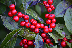Berry Nice® Winterberry (Ilex verticillata 'Spriber') at Begick Nursery