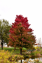 Red Sunset Red Maple (Acer rubrum 'Red Sunset') at Begick Nursery