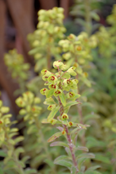 Ascot Rainbow Variegated Spurge (Euphorbia 'Ascot Rainbow') at Begick Nursery