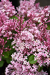 Scent And Sensibility™ Pink Lilac (Syringa 'SMSXPM') at Begick Nursery