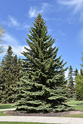 Blue Colorado Spruce (Picea pungens 'var. glauca') at Begick Nursery