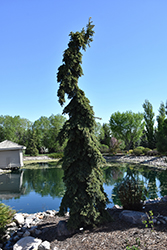 Weeping White Spruce (Picea glauca 'Pendula') at Begick Nursery