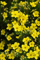 Dakota Sunspot Potentilla (Potentilla fruticosa 'Fargo') at Begick Nursery