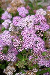 Little Princess Spirea (Spiraea japonica 'Little Princess') at Begick Nursery