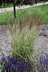 El Dorado Feather Reed Grass (Calamagrostis x acutiflora 'El Dorado') at Begick Nursery