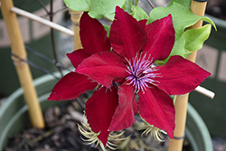 Boulevard® Nubia™ Clematis (Clematis 'Evipo079') at Begick Nursery