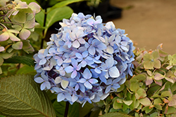 Blue Enchantress Hydrangea (Hydrangea macrophylla 'Monmar') at Begick Nursery