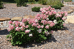 Little Quick Fire® Hydrangea (Hydrangea paniculata 'SMHPLQF') at Begick Nursery