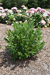 Low Scape® Hedger Aronia (Aronia melanocarpa 'UCONNAM166') at Begick Nursery