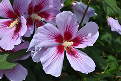 Orchid Satin® Rose of Sharon (Hibiscus syriacus 'ILVO347') at Begick Nursery
