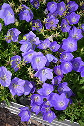 Rapido Blue Bellflower (Campanula carpatica 'Rapido Blue') at Begick Nursery