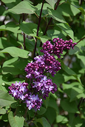 Virtual Violet® Lilac (Syringa 'Bailbridget') at Begick Nursery