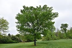 Valley Forge Elm (Ulmus americana 'Valley Forge') at Begick Nursery