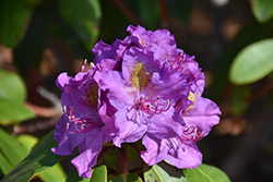 Dandy Man® Purple Rhododendron (Rhododendron 'LAVJ2011') at Begick Nursery