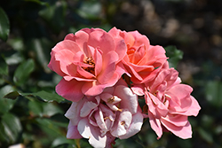 Coral Knock Out® Rose (Rosa 'Coral Knock Out') at Begick Nursery