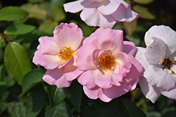 Peachy Knock Out® Rose (Rosa 'Peachy Knock Out') at Begick Nursery