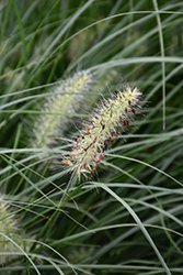Little Bunny Dwarf Fountain Grass (Pennisetum alopecuroides 'Little Bunny') at Begick Nursery