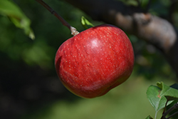 Wolf River Apple (Malus 'Wolf River') at Begick Nursery