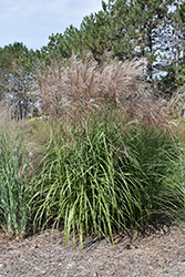 Gracillimus Maiden Grass (Miscanthus sinensis 'Gracillimus') at Begick Nursery