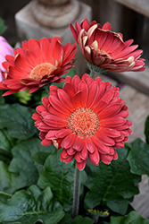 Red Gerbera Daisy (Gerbera 'Red') at Begick Nursery